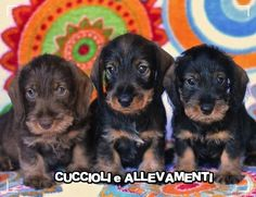 Milano: BASSOTTO TEDESCO A PELO DURO - ALLEVAMENTO: #vendita #cuccioli #bassotto #milano Vai all'annuncio: