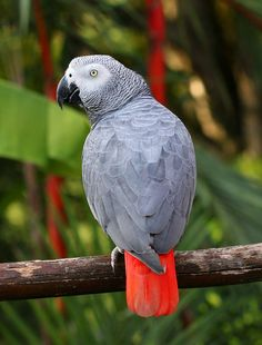African grey parrot, grey parrot or Congo African grey parrot (Psittacus erithacus) Tropical Birds, Exotic Birds, Colorful Birds, Exotic Pets, Parrot Flying, Parrot Bird, Parrot Craft, Parrot Logo, Parrot Tulips
