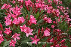 Common name: Oleander Flowering Period: March, April, May, June, July, August