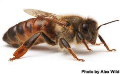 queen-honey-bee-aw.jpg (410×254)