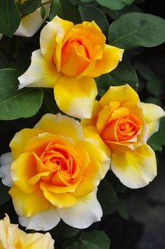 Rose Gardening Hybrid Tea Rose 「Madame Charles Sauvage C Mallerin,France Beautiful Rose Flowers, Flowers Nature, Exotic Flowers, Amazing Flowers, Beautiful Flowers, Pretty Roses, Yellow Flowers, Pink Roses, Orange Roses
