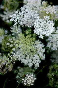 Queen Anne's Lace always reminds me of summers at my GrandMother Rohrer's. A glass of water, food dye and lots of beautiful colored flowers!