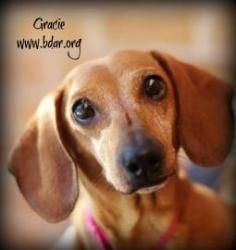 #WYOMING ~ Gracie is an #adoptable Dachshund Dog in #Cheyenne. I'm about as sweet as honey.  My preferred napping spot is in your lap. But if that's not available, I love cuddling up in my bed (or yours) under a cozy blanket. While I love adults A LOT, I am of the opinion that I should be your one and only princess pet. After all, look at me, don't I deserve to be singularly worshiped? BLACK DOG ANIMAL RESCUE   1917 House Ave   #Cheyenne WY 82001  bdar@bdar.org Ph 307-214-6600