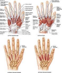A muscle's origin and insertion determine its action: Human Anatomy and Physiology Hand Bone Anatomy, Wrist Anatomy, Anatomy Bones, Body Muscle Anatomy, Human Body Anatomy, Human Anatomy And Physiology, Human Hand Bones, Hand Surgery, Anatomy Images