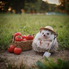 Facts About Hedgehog Pet Baby Animals Super Cute, Cute Little Animals, Cute Funny Animals, Funny Pets, Baby Animals Pictures, Cute Animal Photos, Animals And Pets, Cute Puppies, Cute Dogs