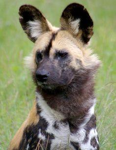 Google Afbeeldingen resultaat voor http://www.bengelder.nl/pictures/Nieuws-foto%27s/091019-Afrikaanse-Wilde-Hond%25202.jpg