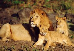 Lion with baby's