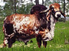 Gir Lechero Vacas de Leche Pinterest Cattle, Cow and