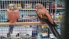 Bourke parakeets at pet life.