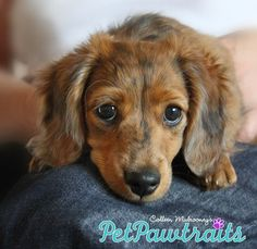 """The Cutest Longhaired Dachshund you've ever seen"" ~ RedRavenStudio #ColleenMulrooneysPetPawtraits"