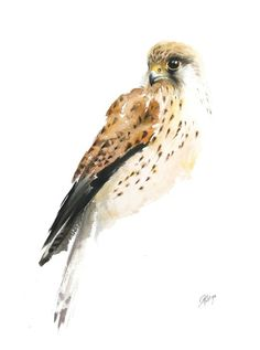 ARTFINDER: Common Kestrel (Falco tinnunculus) by Andrzej Rabiega - This is a print from an original painting. The quality of the print is unrecognizable from the original watercolor.