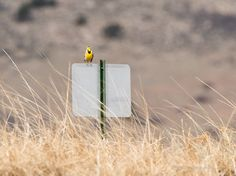 Western Meadowlark ©Kevin Rutherford. Wild Bird Company - Boulder, CO, Saturday Morning Bird Walk in Boulder County - March 12, 2016.