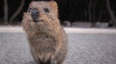 This is a quokka. A quokka is a marsupial. They are found on the islands west of Australia, most notably the island of Rottnest Rottnest was given it's. Happy Animals, Cute Baby Animals, Animals And Pets, Funny Animals, Exotic Animals, Quokka Baby, Beautiful Creatures, Animals Beautiful, Australia Animals