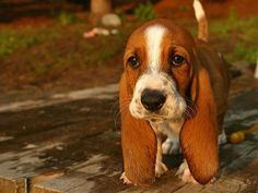 Cutest Basset Hound puppy EVER!!! ❤️❤️❤️