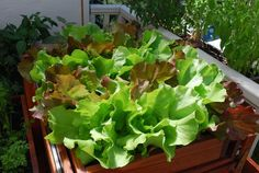 """This is absolutely the best article I have seen on how to grow lettuce organically. Many other important tips and suggestions. Check it out, you'll be glad."" Growing Lettuce—SaladScape of Skyphos and Santoro Lettuce"