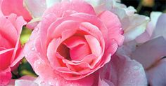 Růže - pěstování