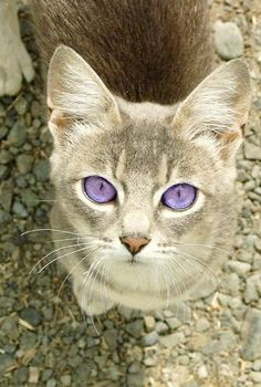 Purple-eyed Cat A dairy cat with some Photoshop modifications. (I wish I could see the original photo. This is a beautiful cat what ever color eyes it has.)