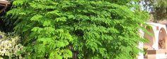 The Health Benefits Of Moringa - A Modern Miracle Tree
