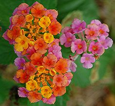 sorbet-like colors Lantana