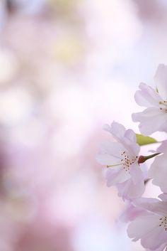 Sakura by Toru Shishikura