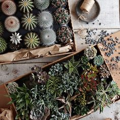 Inspirational Terrarium and Cacti to Create Fresh Atmosphere in House: Wonderful Cacti And Succulents For Indoor Gardening Terrariums Propagating Succulents, Cacti And Succulents, Planting Succulents, Garden Plants, Indoor Plants, Planting Flowers, Indoor Cactus, Growing Succulents, Growing Plants