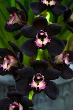 omg I want one... Bad..,,                             My Hundred Acre Wood — flowersgardenlove: Black Orchids by Ado...
