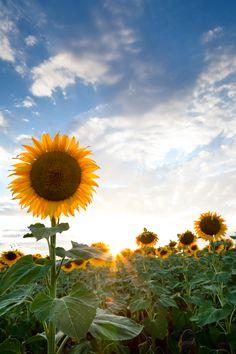 Sunflower sunset, eastern Colorado