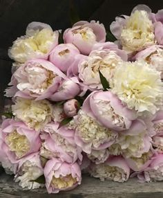 Peony Rose Lady Alexander Duff - Garden Express