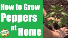How to Grow Peppers at Home in a Raised Garden Bed Using the Square Foot...