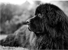 If I thought that I could live and breathe to tell about it, a Newfoundlander is the kind of dog I have always wanted. *sigh* #allergiessuck