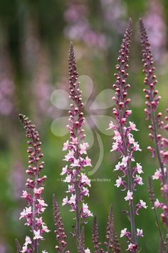 Linaria purpurea 'Canon Went' is perpetually busy with butterflies and bees, this is a nectar Mecca all summer.