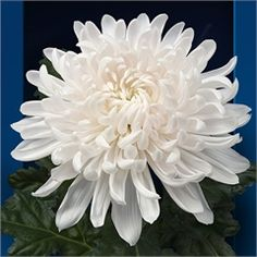 Chrysanthemum Blooms Antonov Satin are a white, disbudded, single headed cut flower variety. 70cm tall & wholesaled in 10 stem wraps.