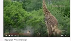 Vehsi heyvanlarin doyusler barede video