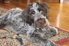 Trooper! ~ Wirehaired Pointing Griffon Pup ~ Classic Look