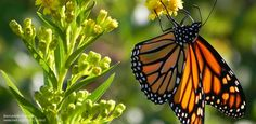 Monarch butterflies are in trouble. Over the last few decades, populations of these iconic orange and black butterflies have declined by over 90 percent.  The National Wildlife Federation is teaming up with the U.S. Fish and Wildlife Service and other partners to reverse this alarming trend and en...