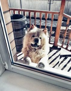 14 Cheerful Chow Chow Pictures Proving That Coronavirus Quarantine Can Be Spent With Positive | PetPress Chow Chow Dogs, Good Movies, Husky, Cheer, Cute Animals, Positivity, Canning, Pets, Doggies