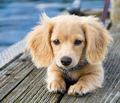 Very pretty mini long haired dachshund puppy