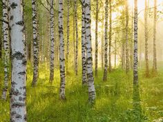 Birkenwald X, picture from the series Birch Forest by André Wagner, LUMAS Artist ✓ Birch Forest, Wild Forest, Landscape Pictures, Nature Pictures, Calming Pictures, Landscape Photography, Art Photography, Forest Painting, Chiaroscuro