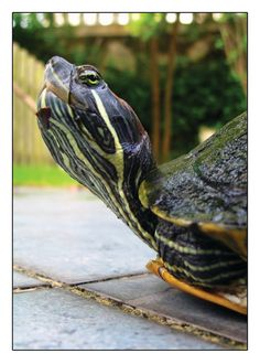 Slow Poke is a signed Fine Art Photograph by Joy Neasley. Slow Poke is a turtle who lives in the Koi pond in our backyard in Southeastern
