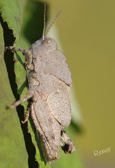 grey grasshopper - Chortophaga viridifasciata