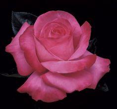 ELIZABETH TAYLOR - I can't resist a rose named after Liz!  I love Hybrid Teas!