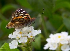 Painted Lady butterfly!!!