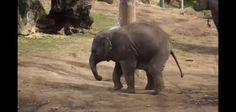 cute little elephant playing