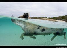 The Bahamas' Wild Pigs