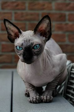 Sphynx Cat Cattery Bucked Naked Mb Fotografie