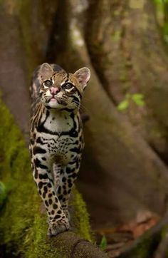 Ocelot felis pardalis walking on buttress root on the forest floor in the Amazon rainforest, Ecuador, South America