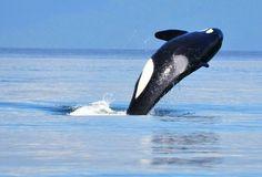 Orca en Vancouver, Canadá