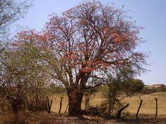 ÁRVORES DA CAATINGA: MULUNGU O mulungu (Erythrina mulungu) e (Erythrina verna) Suas flores têm a predominância da cor laranja e vermelha e são muita visitadas por insetos e pássaros, principalmente pelo currupião que é uma das mais belas aves da caatinga. O mulungu é bastante utilizado na medicina caseira para estabilizar o sistema nervoso central, como antioxidante, como tonificante e para auxiliar na redução da tensão arterial.
