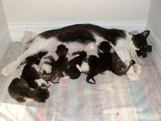 Pregnant Cat - 10 Essential Pregnant Cat Care Tips!