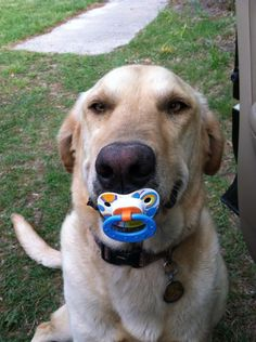 Dog with a pacifier